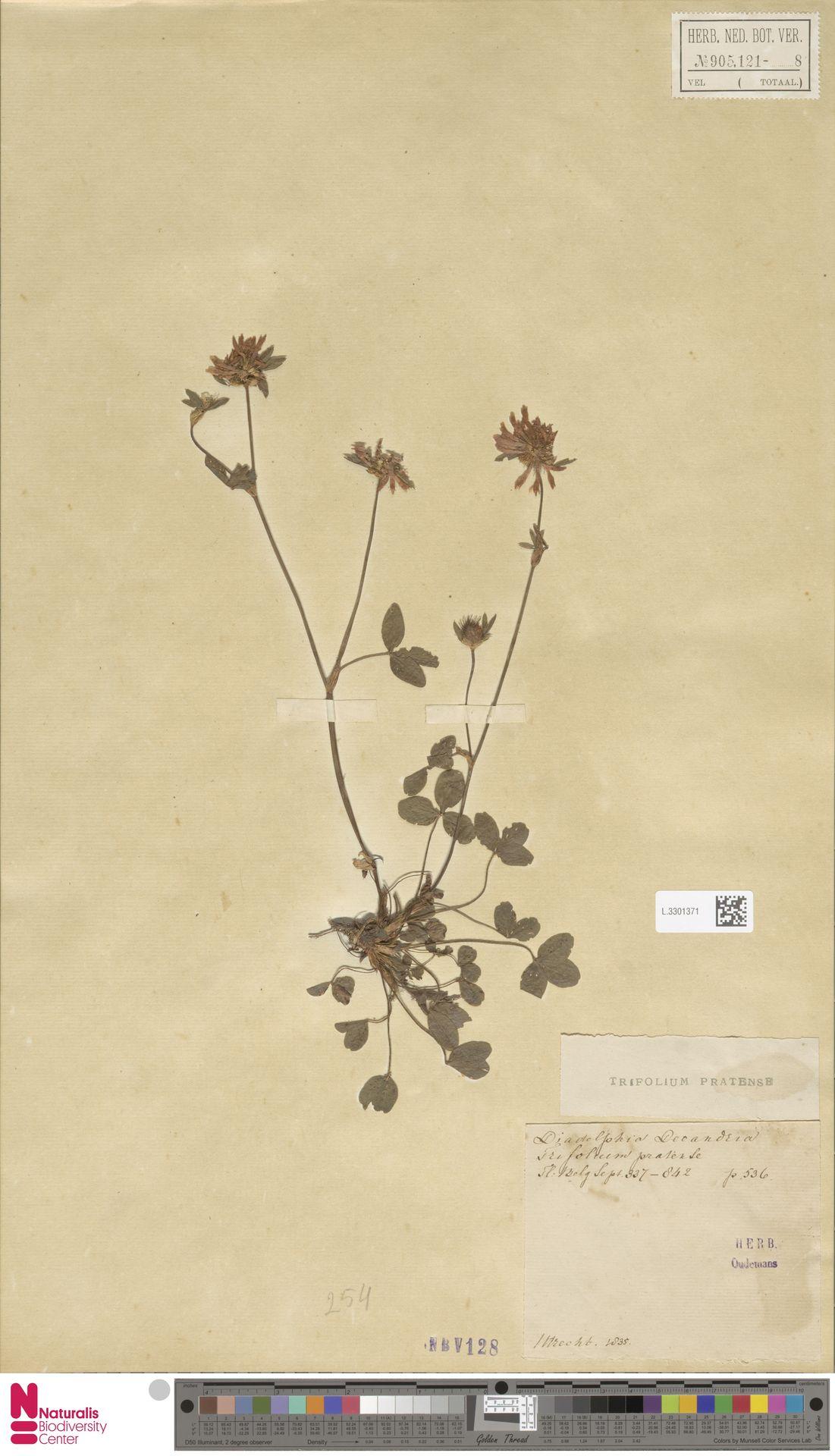 L.3301371 | Trifolium pratense L.
