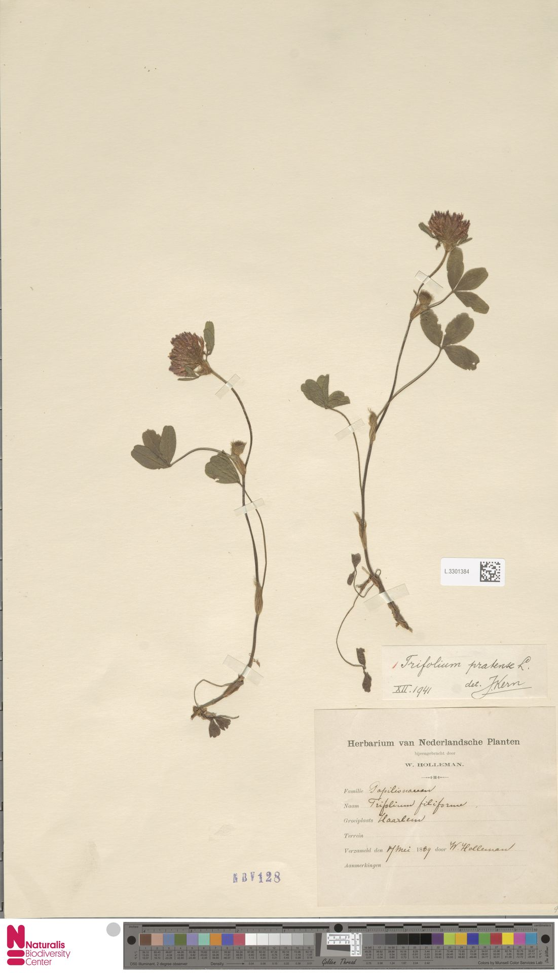 L.3301384 | Trifolium pratense L.