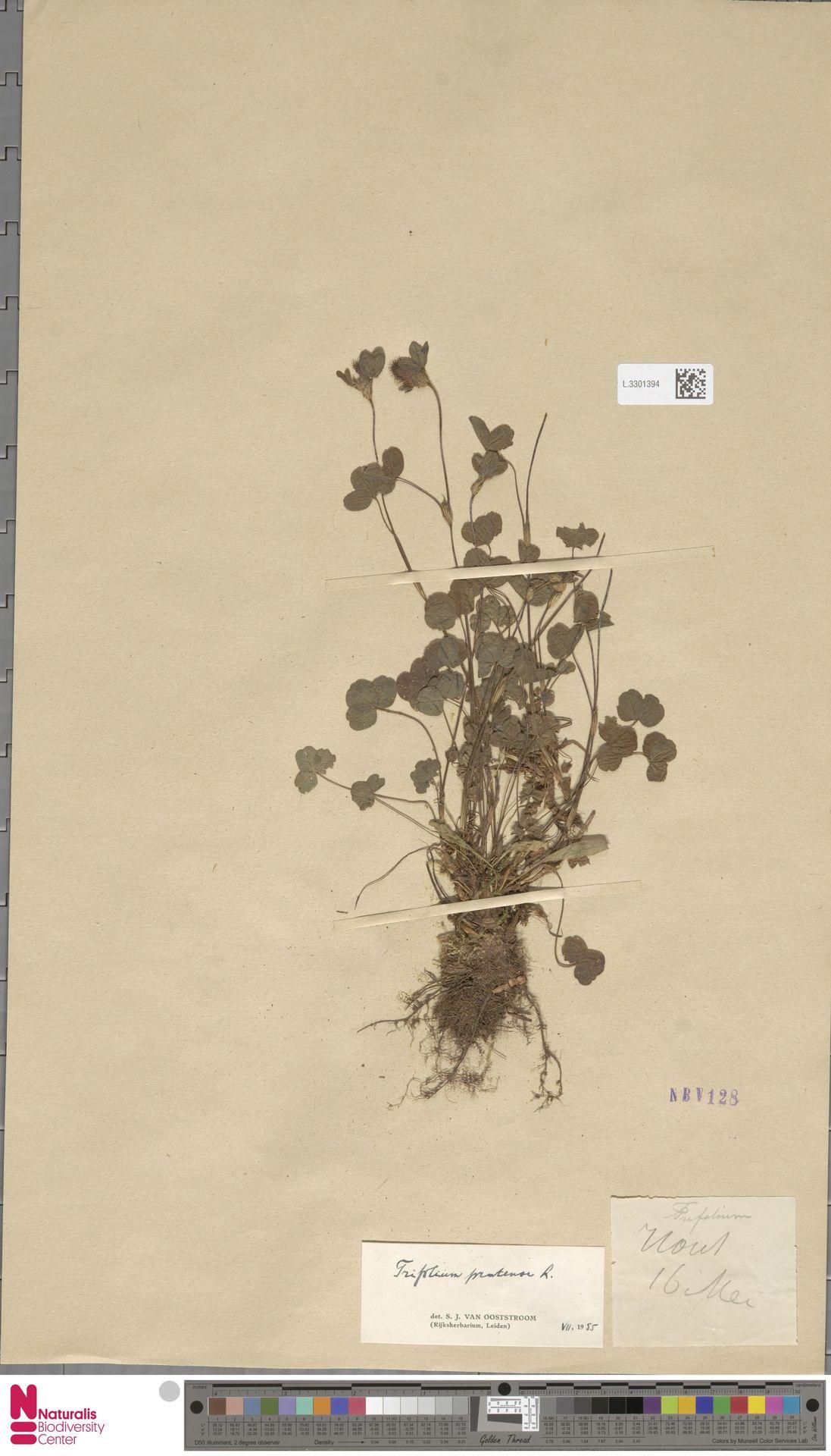 L.3301394 | Trifolium pratense L.