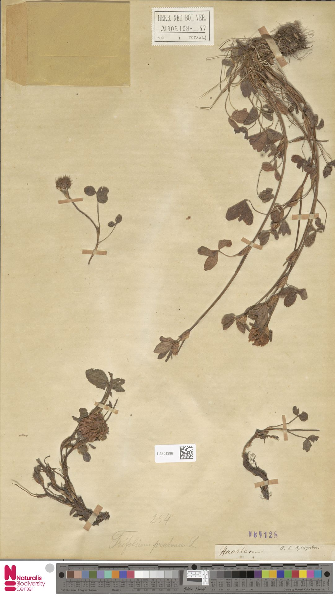 L.3301396 | Trifolium pratense L.