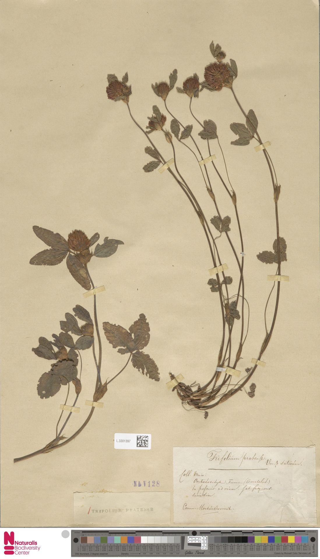 L.3301397 | Trifolium pratense L.