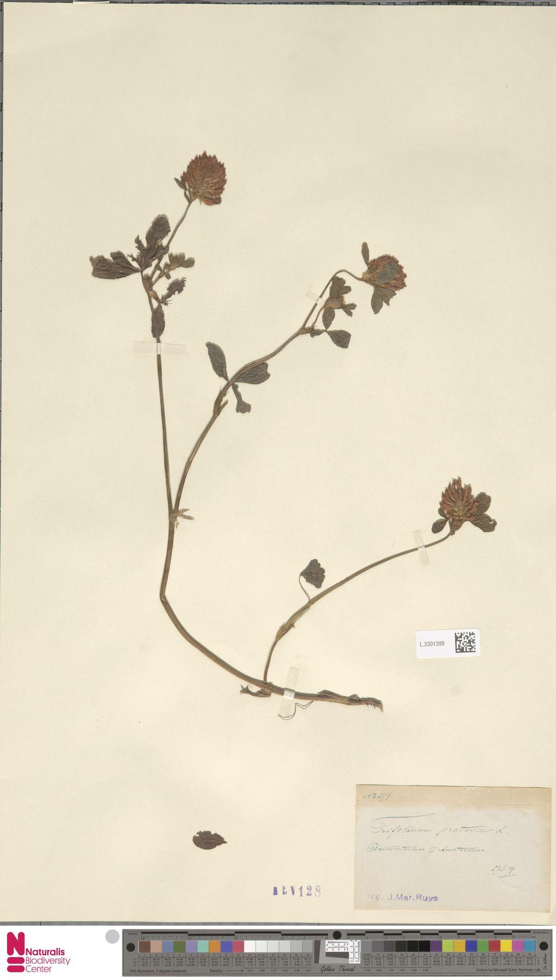 L.3301399 | Trifolium pratense L.