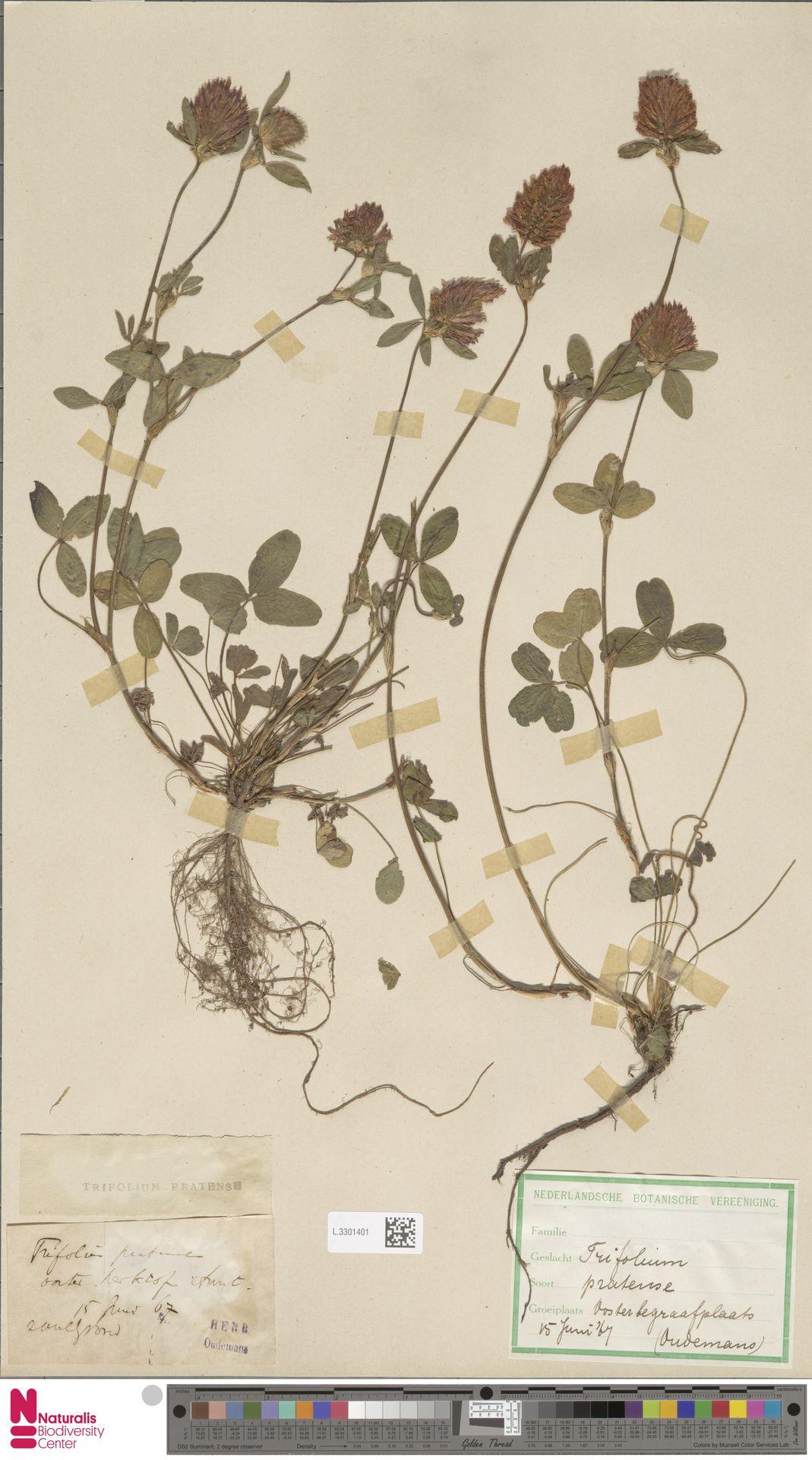 L.3301401 | Trifolium pratense L.