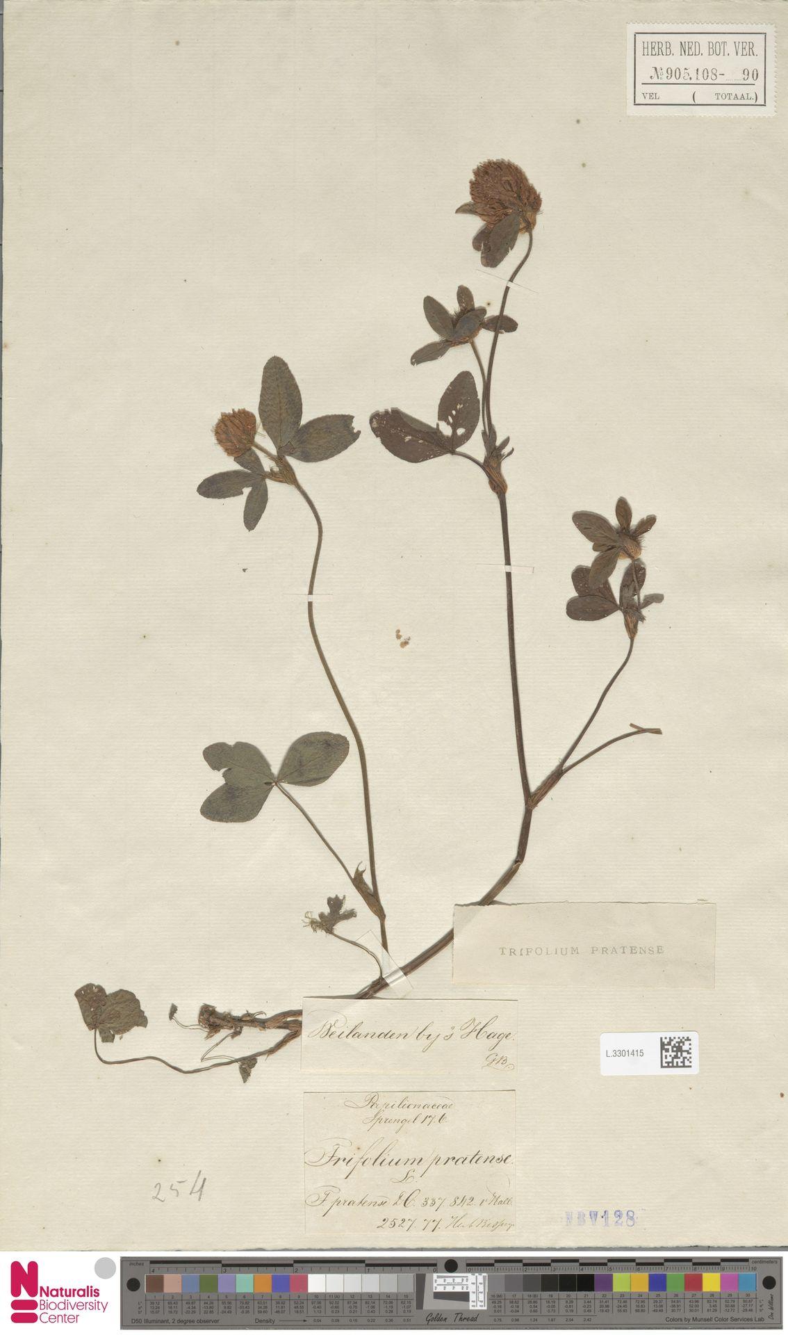 L.3301415   Trifolium pratense L.