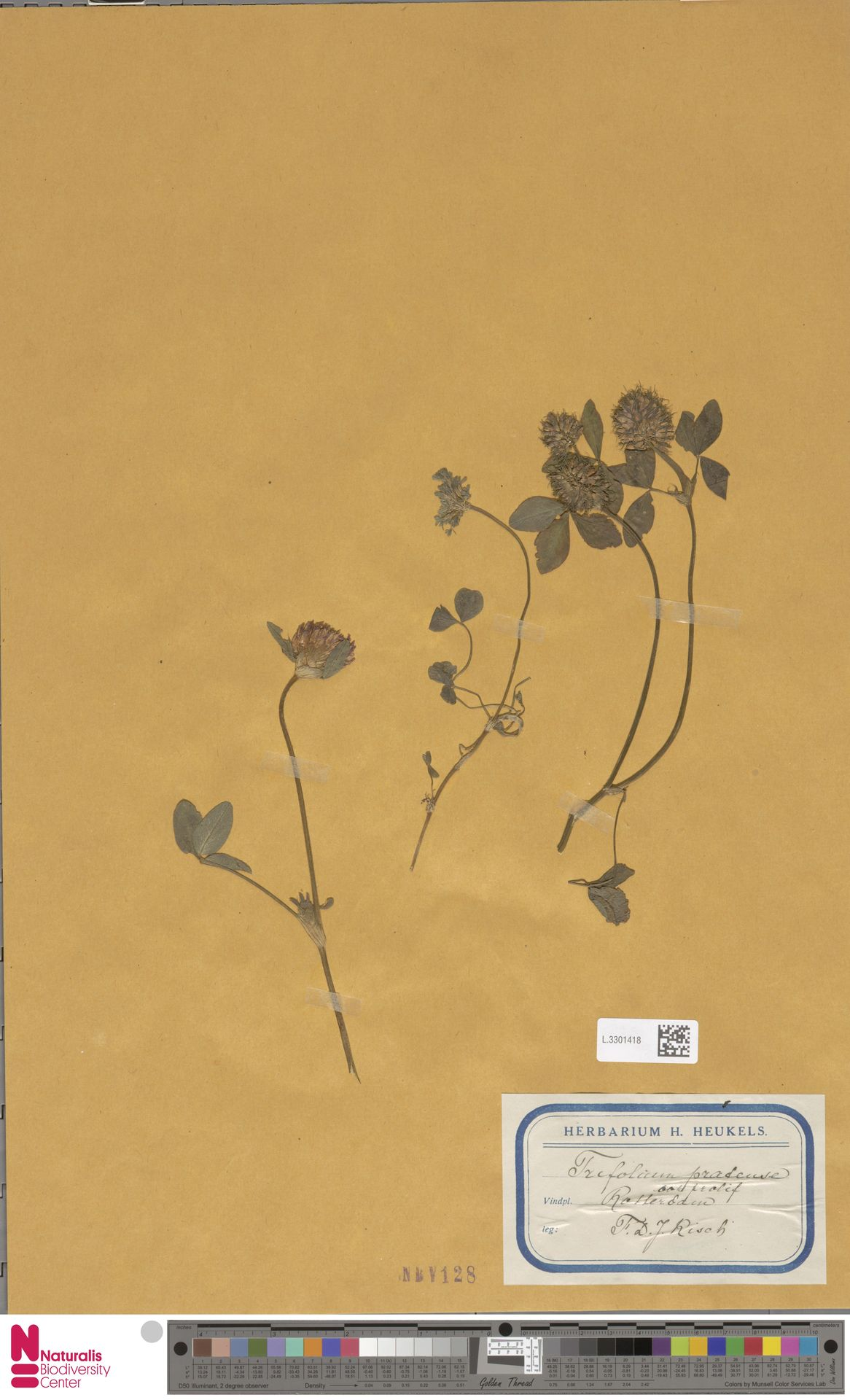 L.3301418 | Trifolium pratense L.