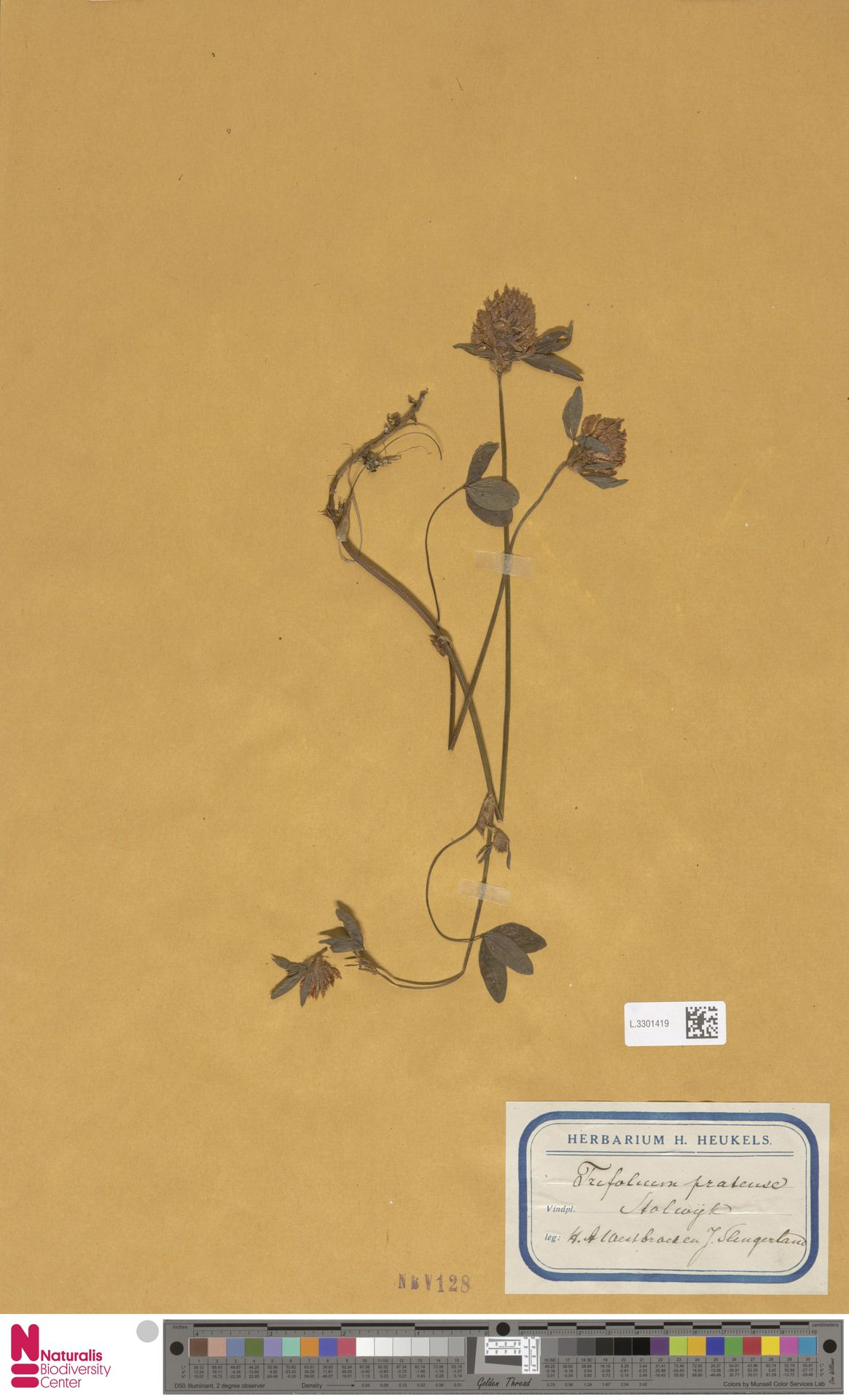 L.3301419   Trifolium pratense L.
