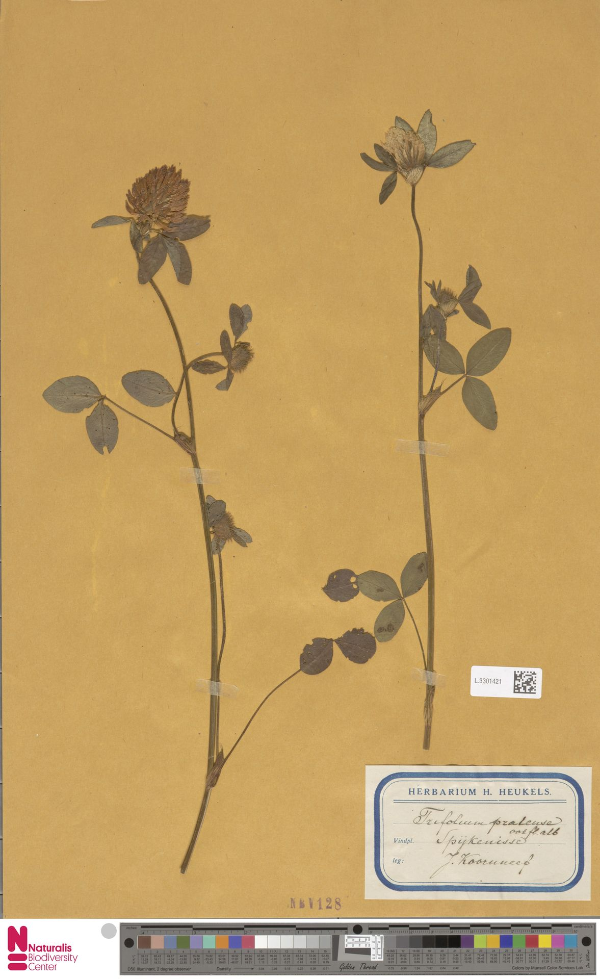 L.3301421   Trifolium pratense L.