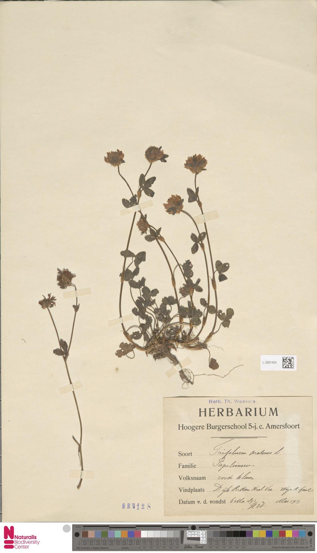L.3301424 | Trifolium pratense L.