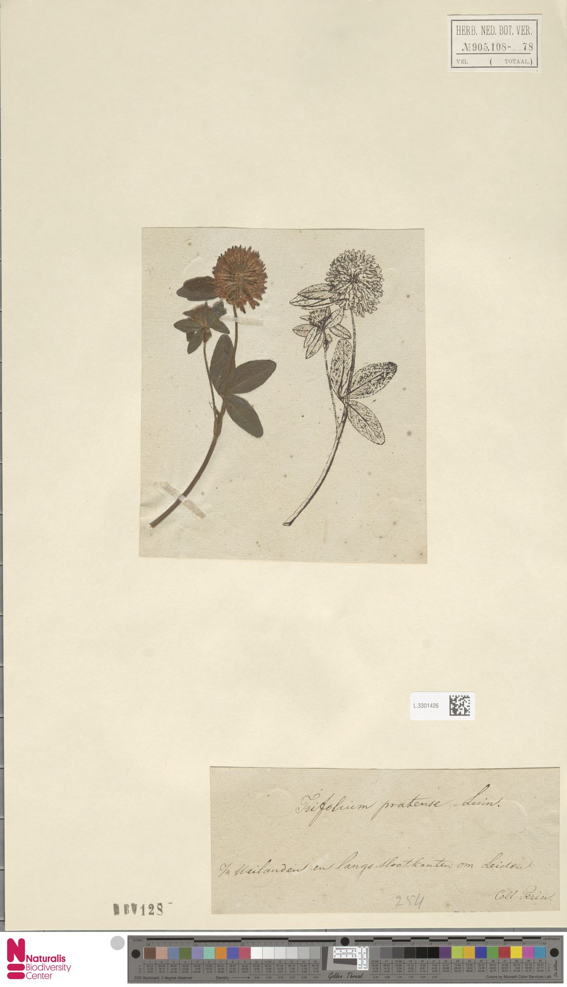 L.3301426 | Trifolium pratense L.
