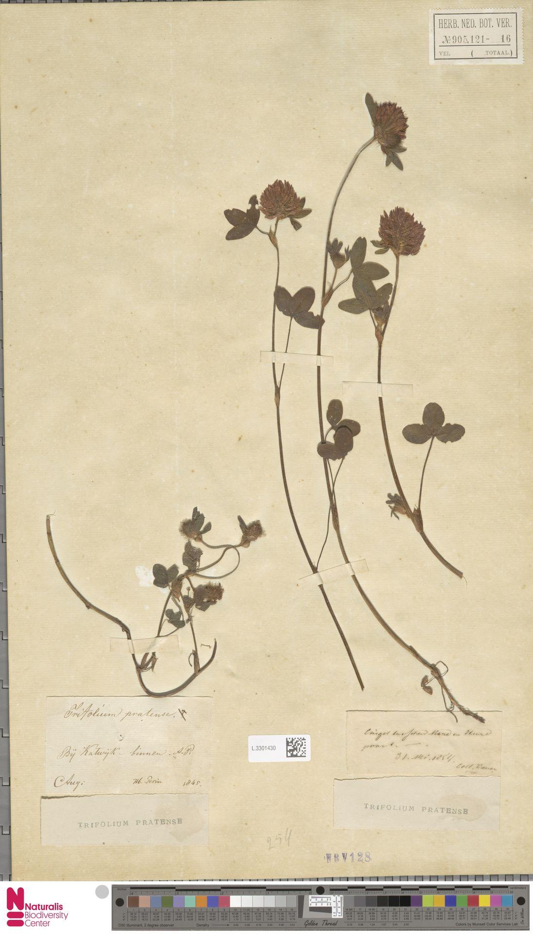 L.3301430 | Trifolium pratense L.