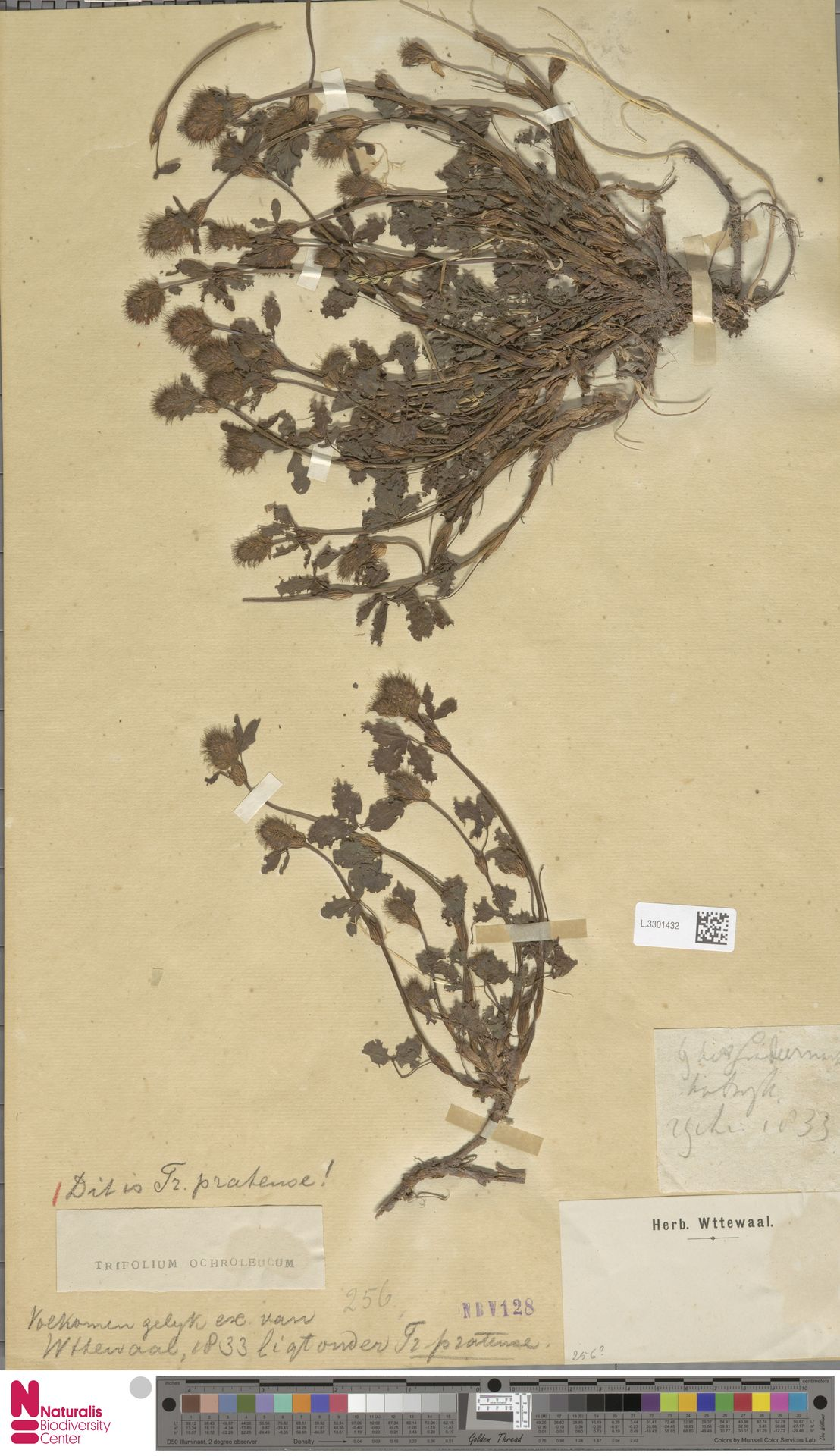 L.3301432   Trifolium pratense L.