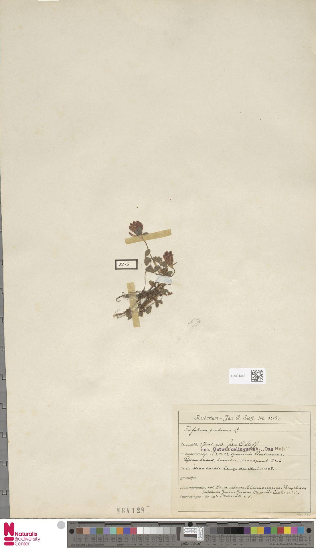 L.3301440   Trifolium pratense L.