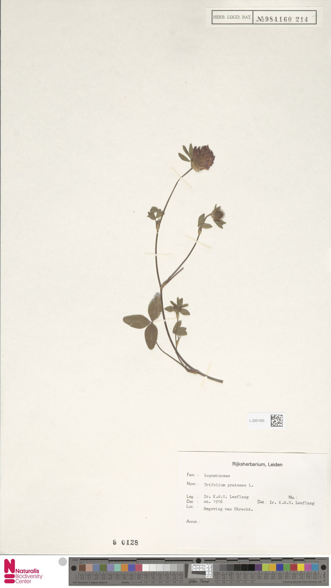 L.3301450 | Trifolium pratense L.
