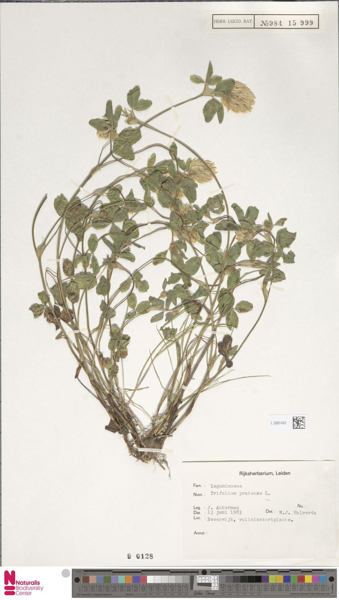 L.3301452 | Trifolium pratense L.