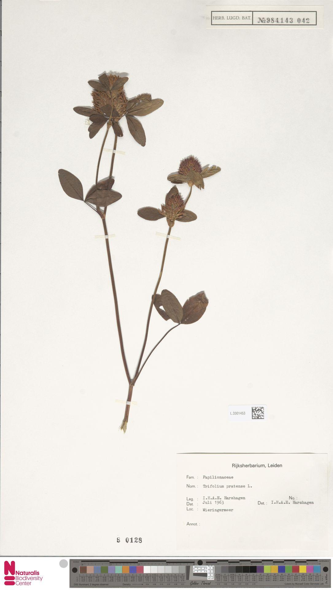 L.3301453 | Trifolium pratense L.