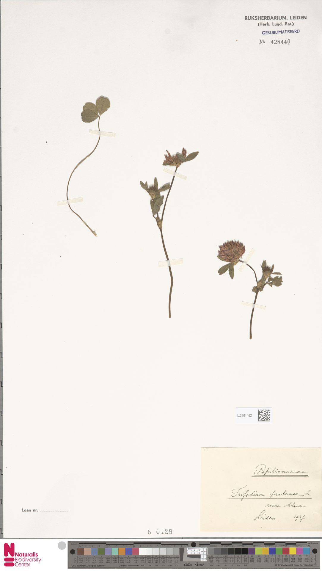 L.3301462   Trifolium pratense L.