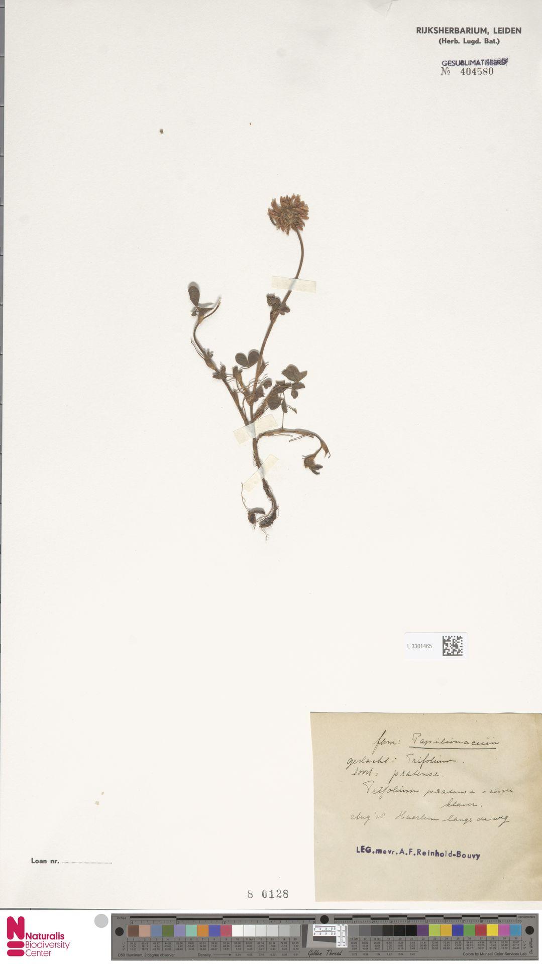L.3301465 | Trifolium pratense L.