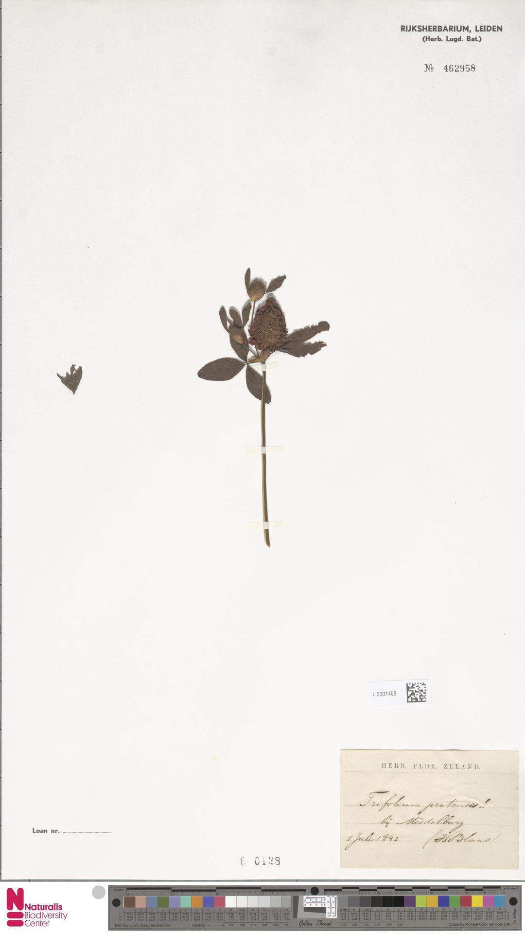 L.3301468 | Trifolium pratense L.