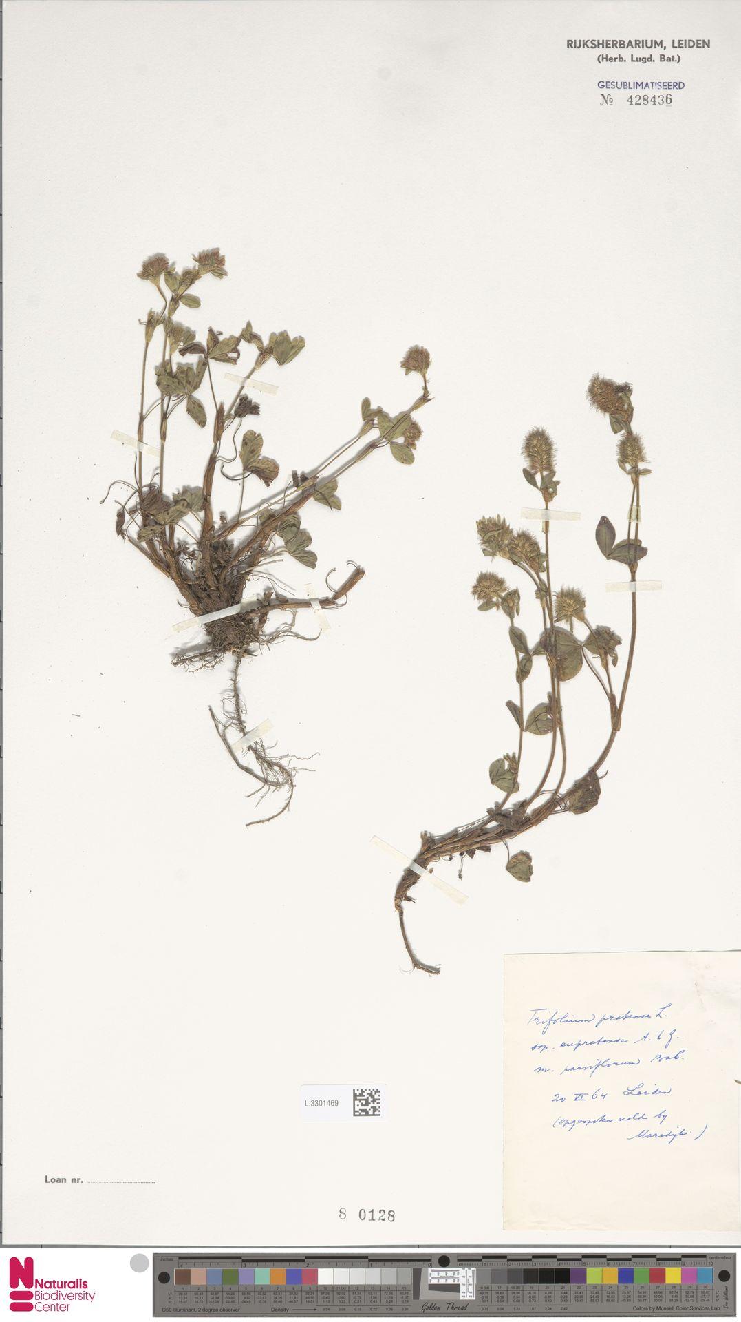 L.3301469 | Trifolium pratense L.