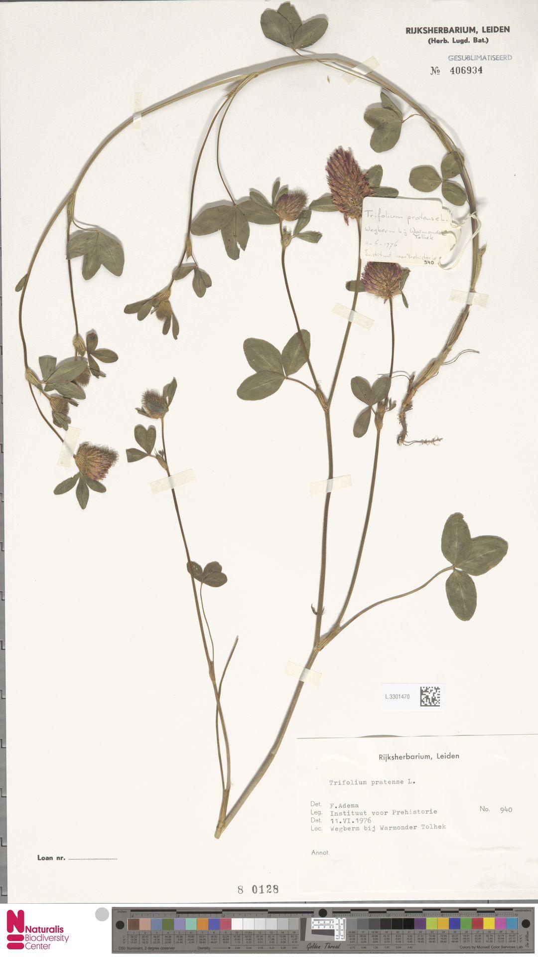L.3301470 | Trifolium pratense L.