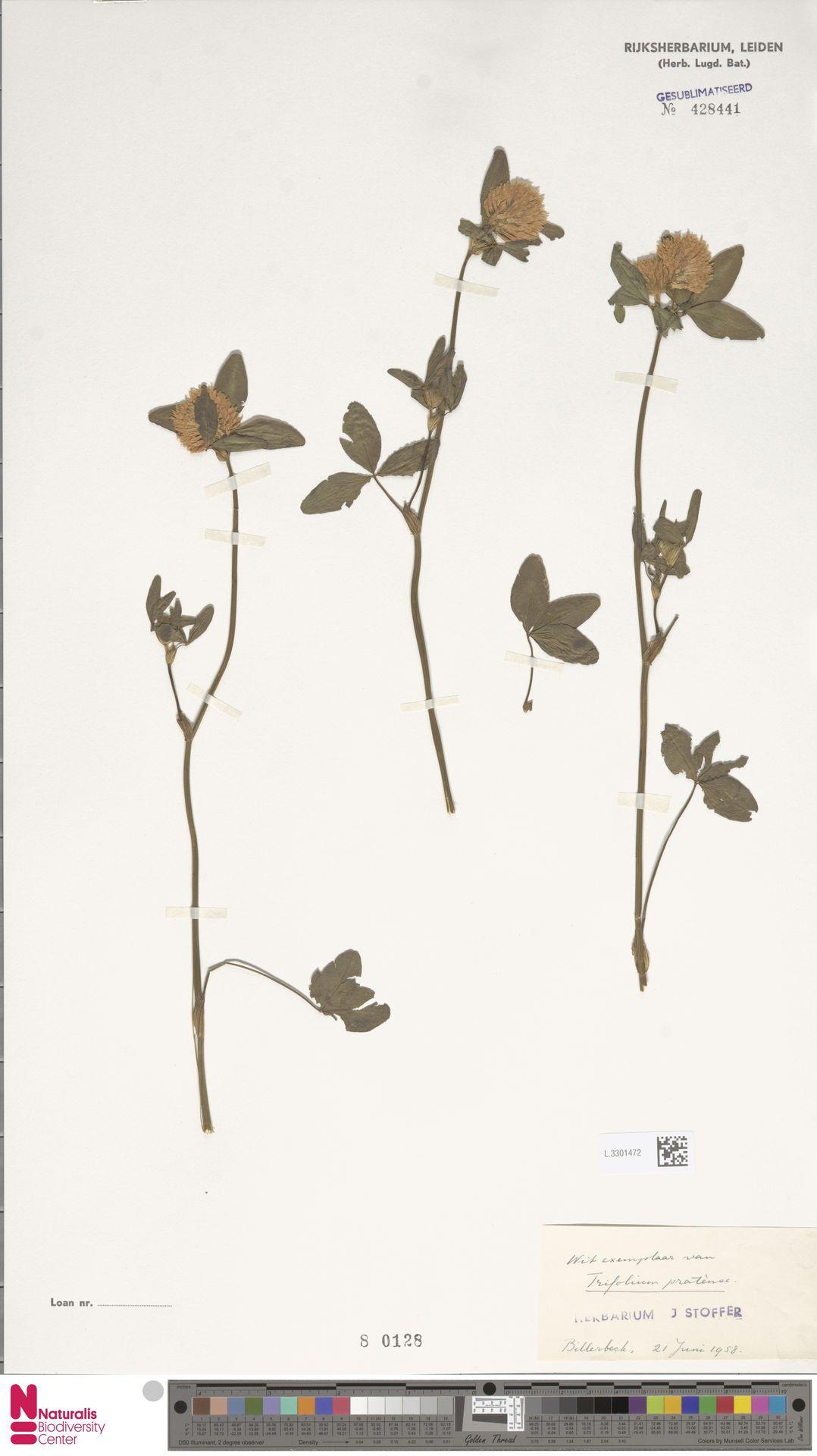 L.3301472 | Trifolium pratense L.
