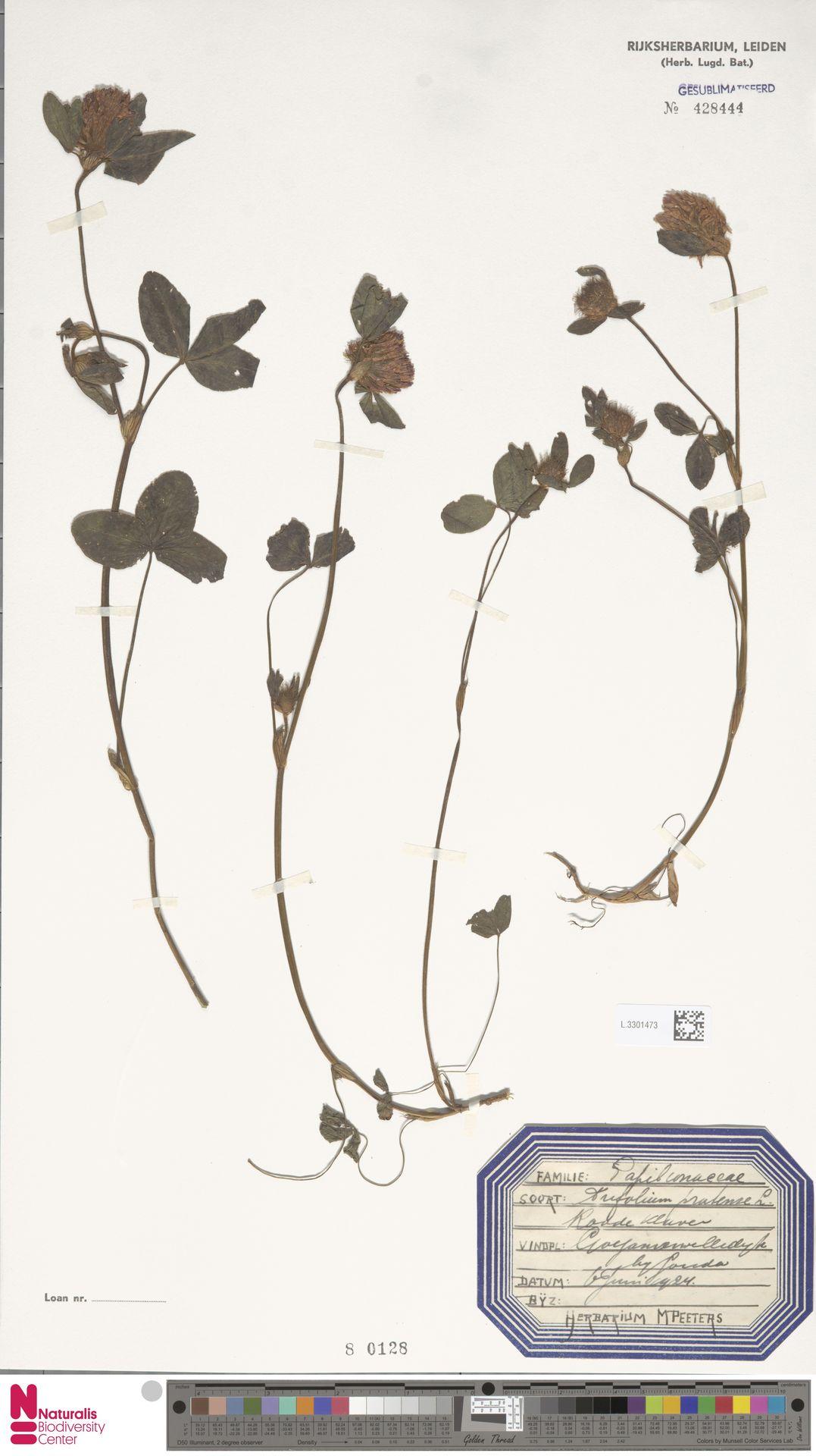 L.3301473   Trifolium pratense L.