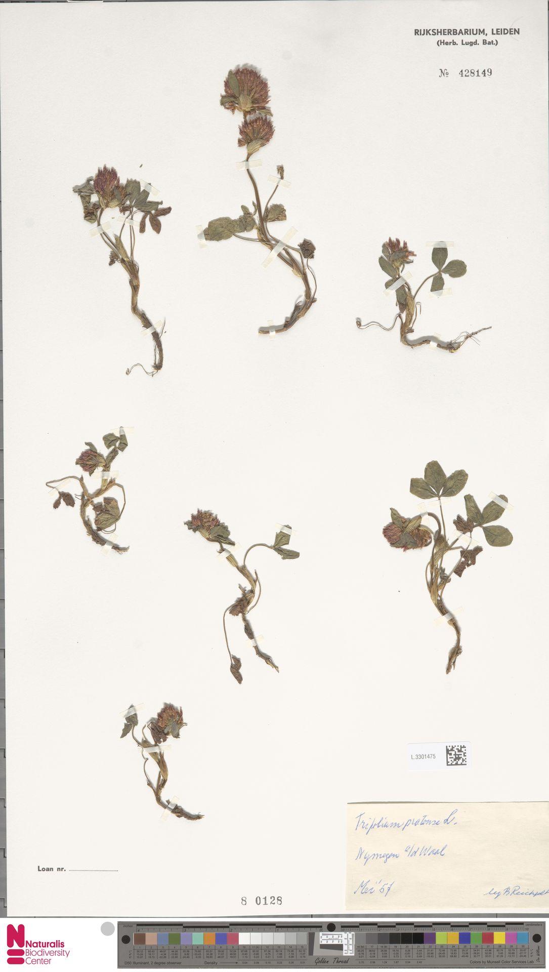 L.3301475 | Trifolium pratense L.