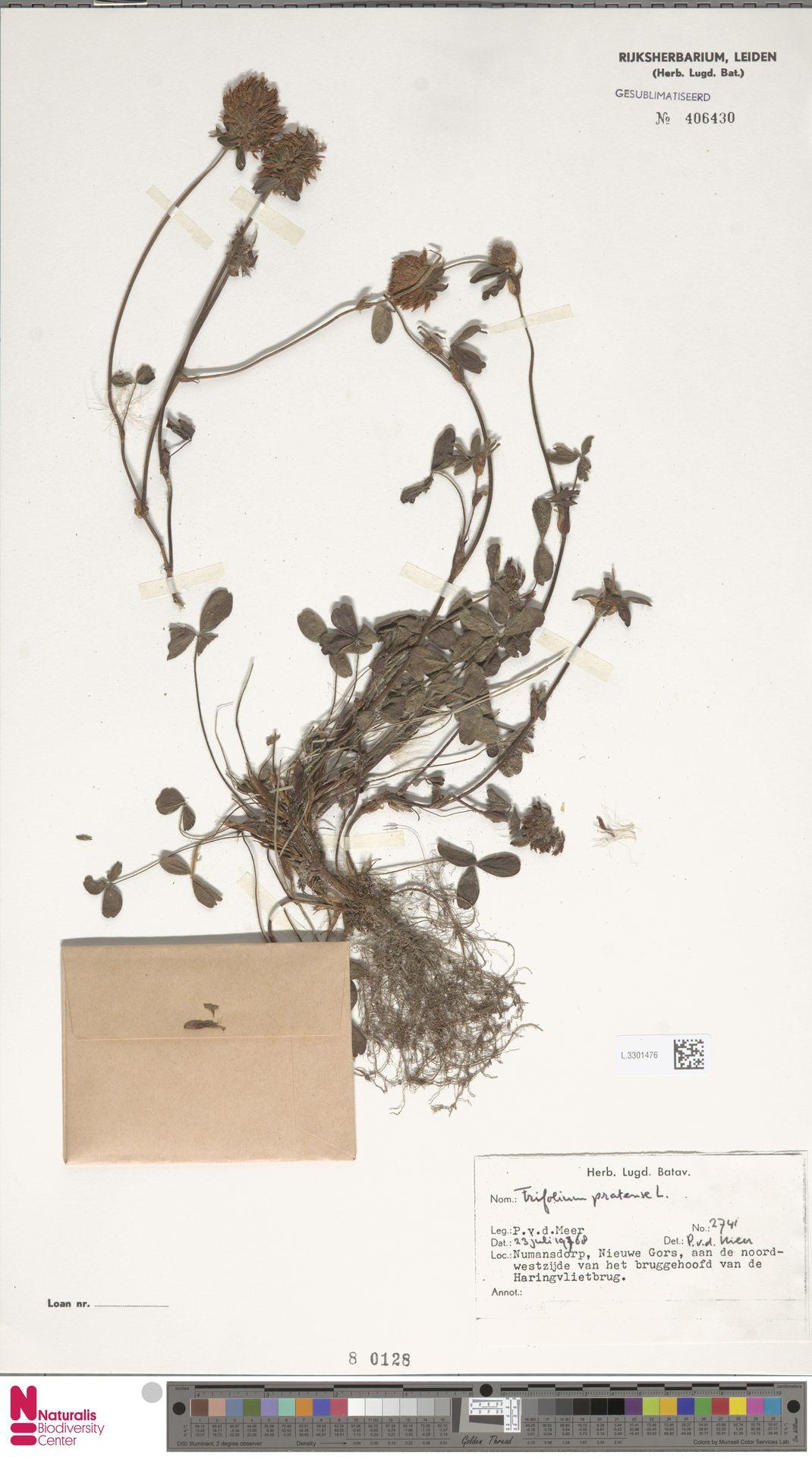 L.3301476   Trifolium pratense L.