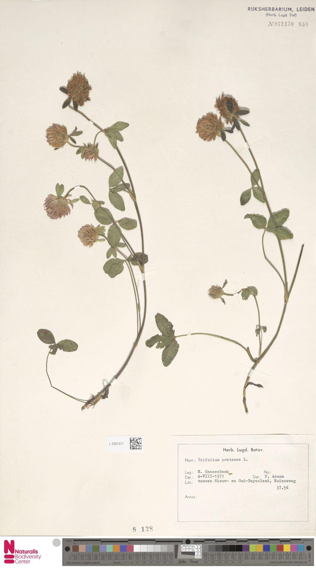 L.3301477   Trifolium pratense L.