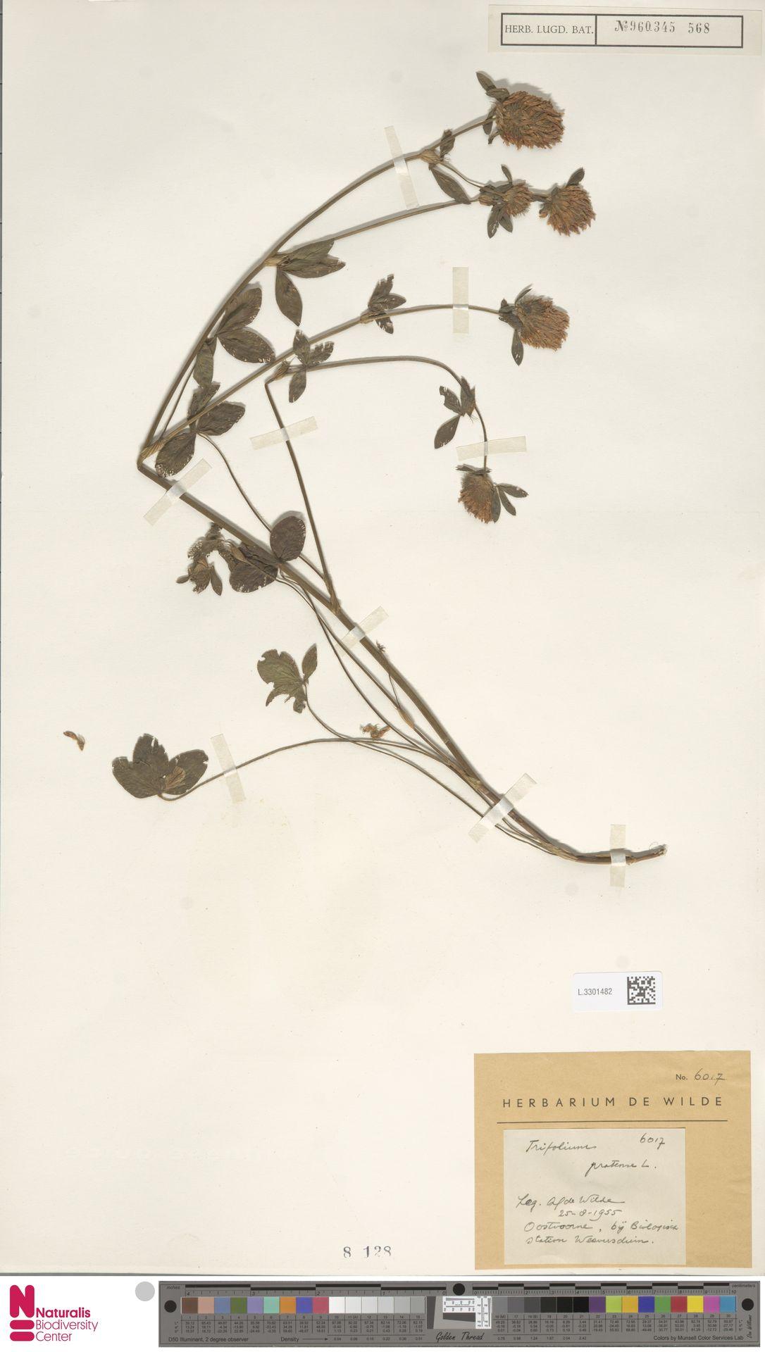 L.3301482 | Trifolium pratense L.