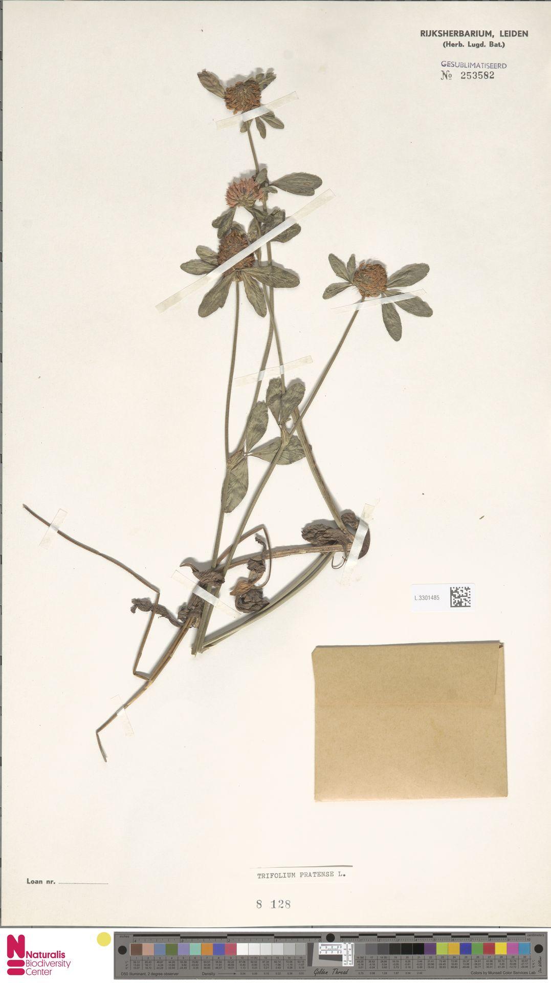 L.3301485   Trifolium pratense L.