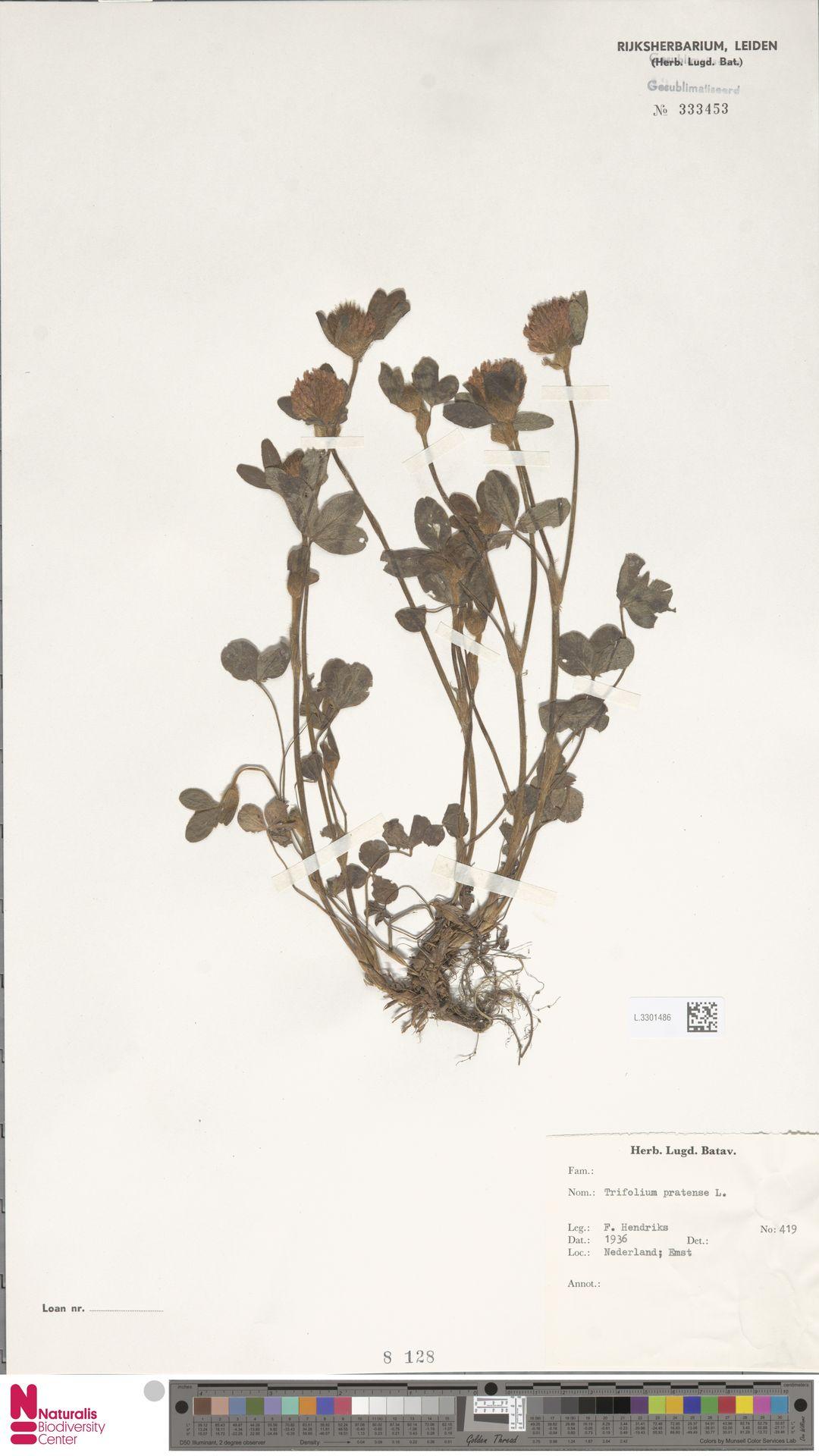 L.3301486   Trifolium pratense L.