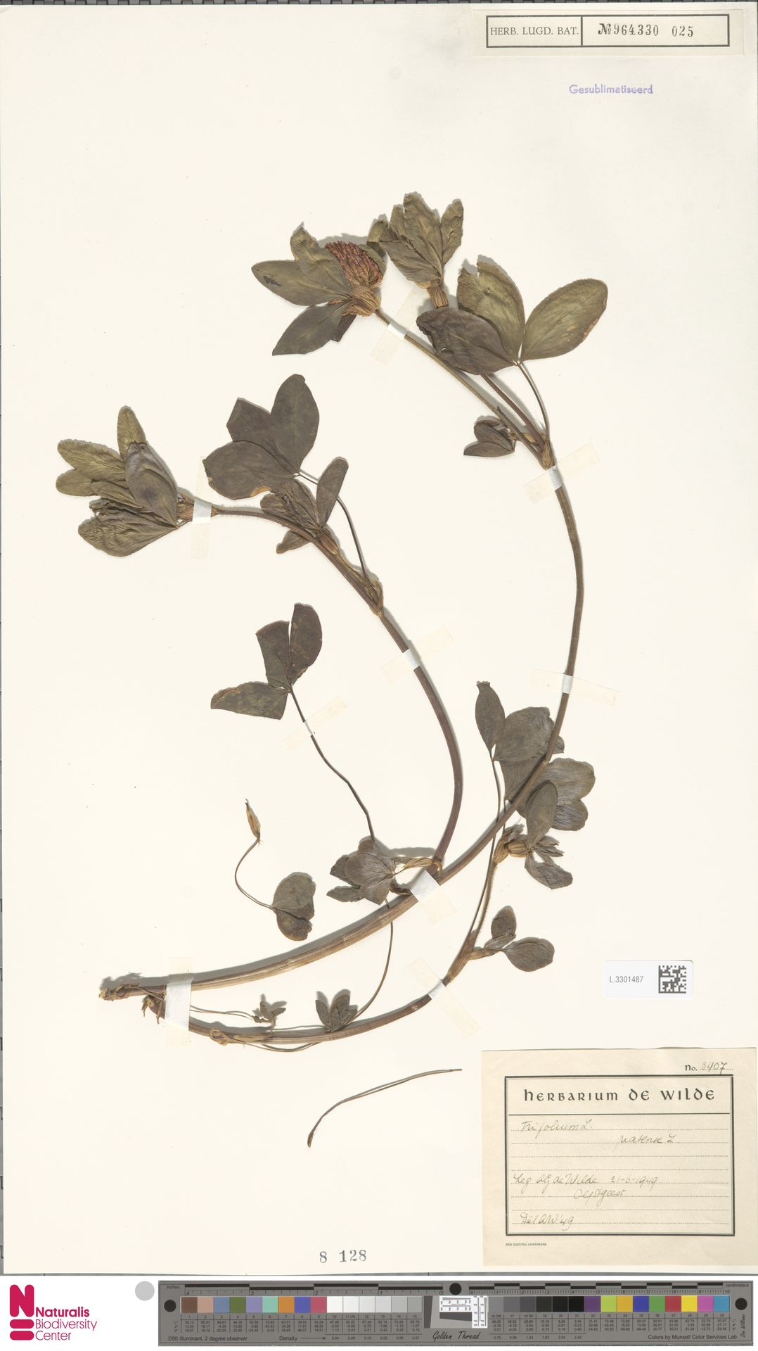 L.3301487 | Trifolium pratense L.
