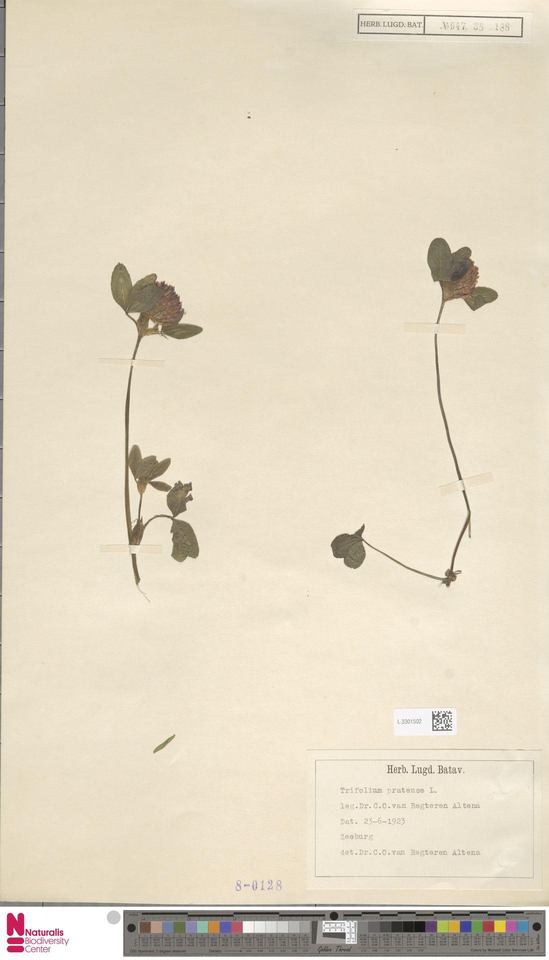 L.3301502 | Trifolium pratense L.