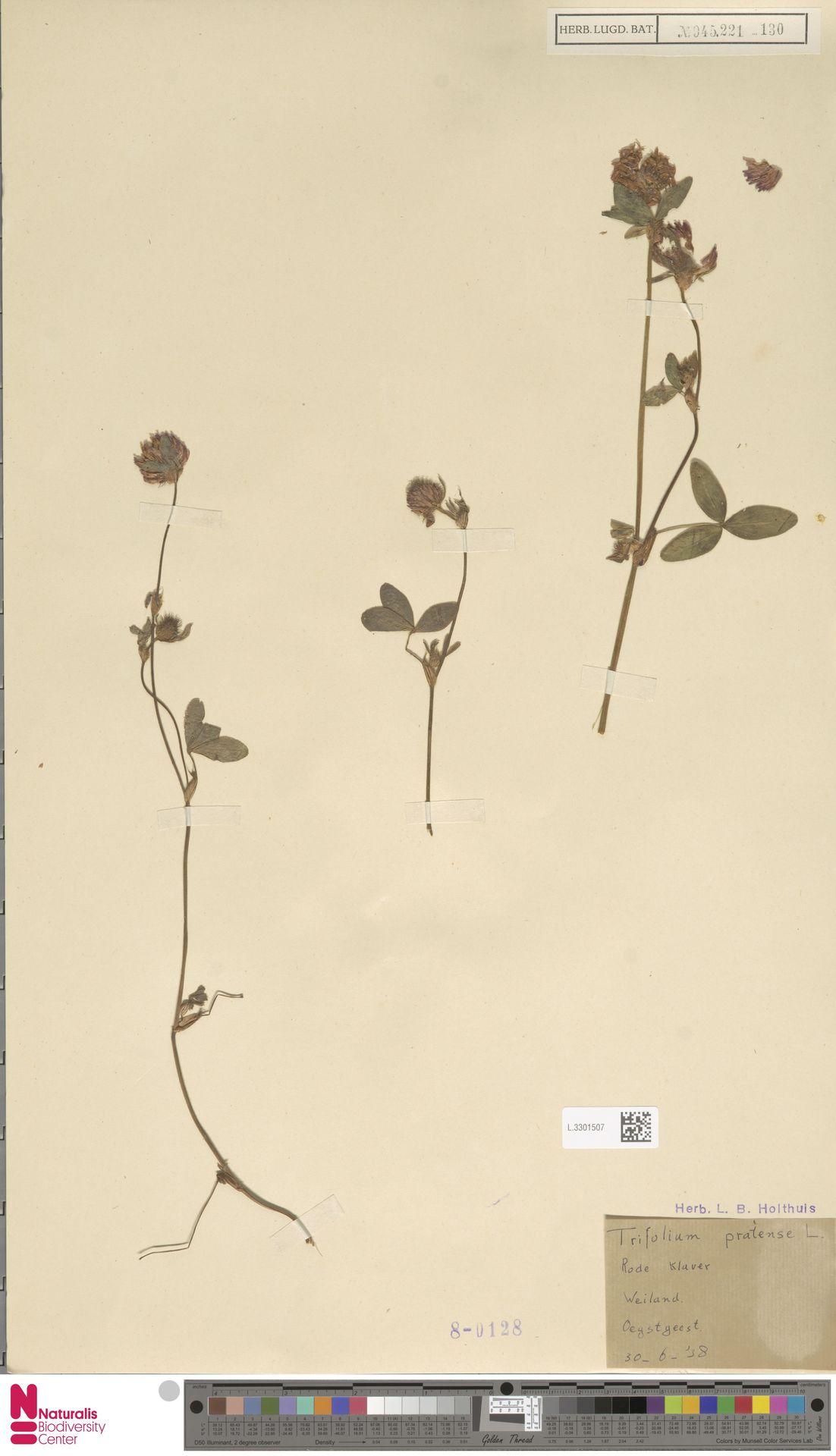 L.3301507 | Trifolium pratense L.