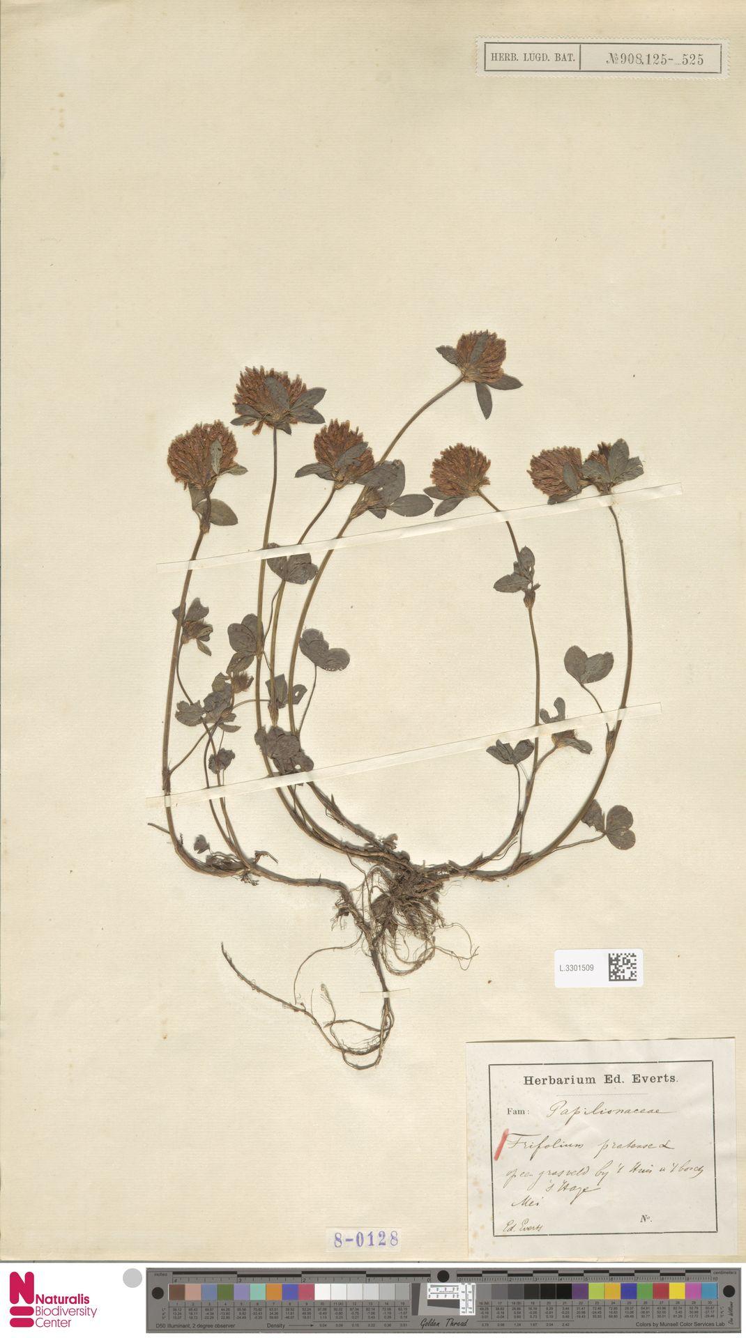 L.3301509 | Trifolium pratense L.