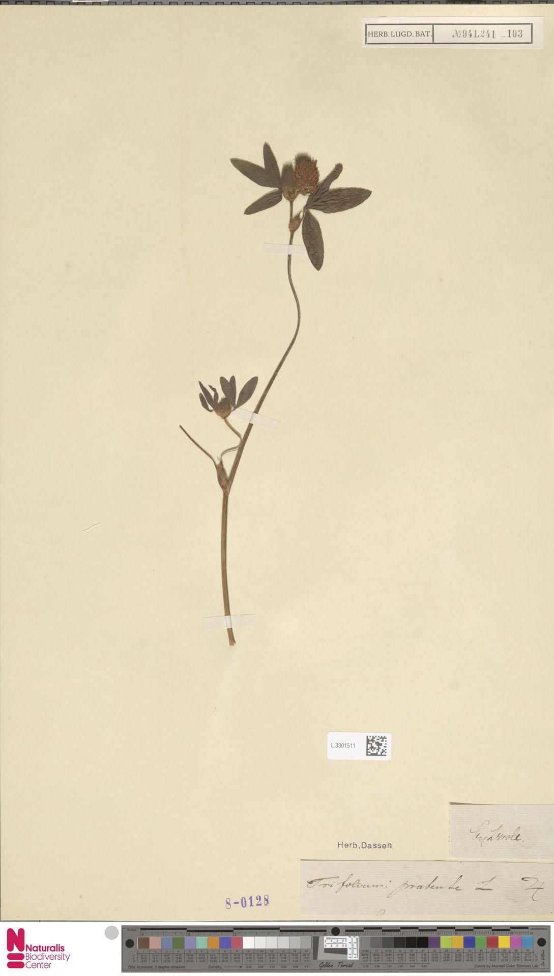 L.3301511   Trifolium pratense L.