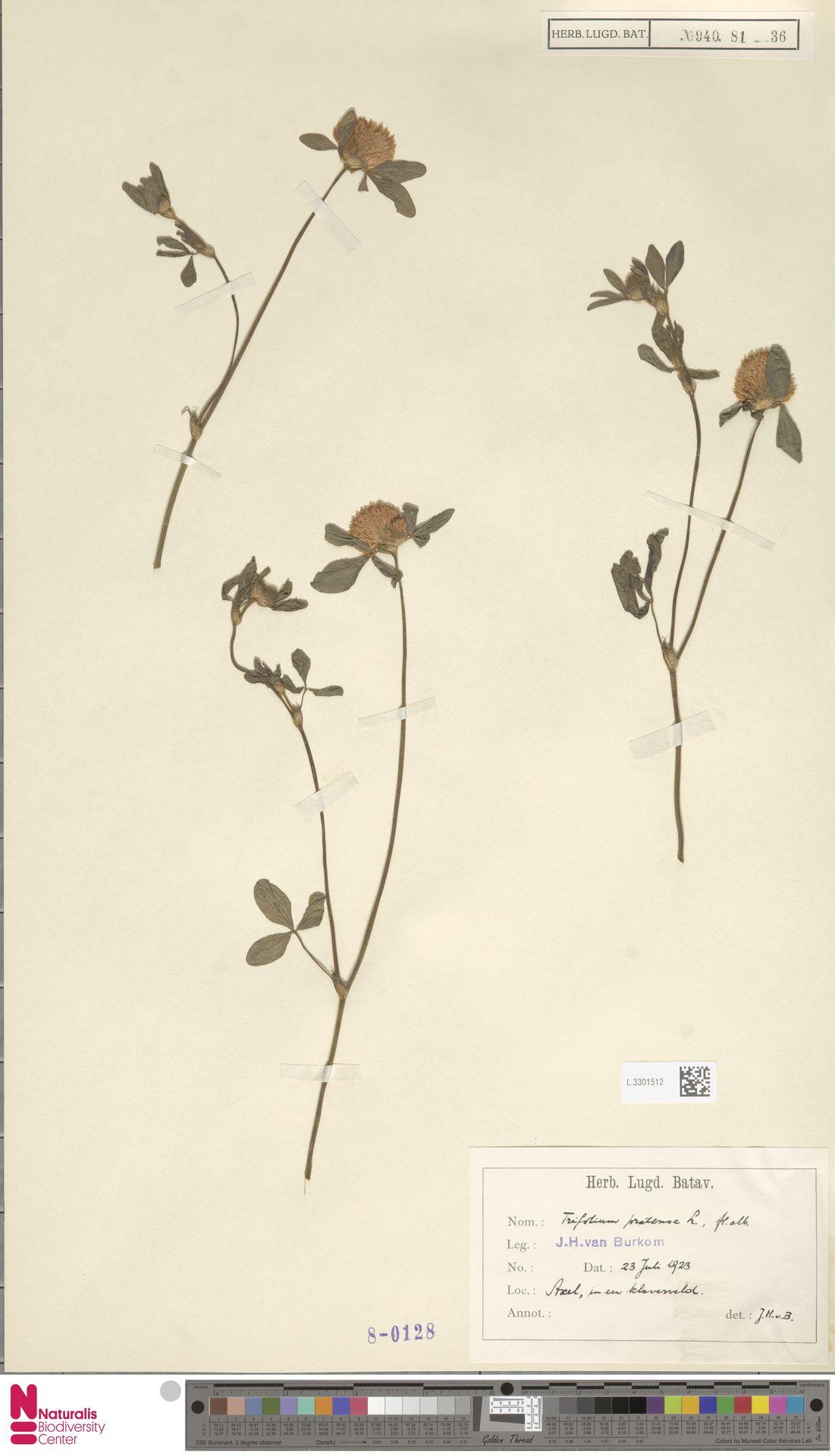 L.3301512   Trifolium pratense L.