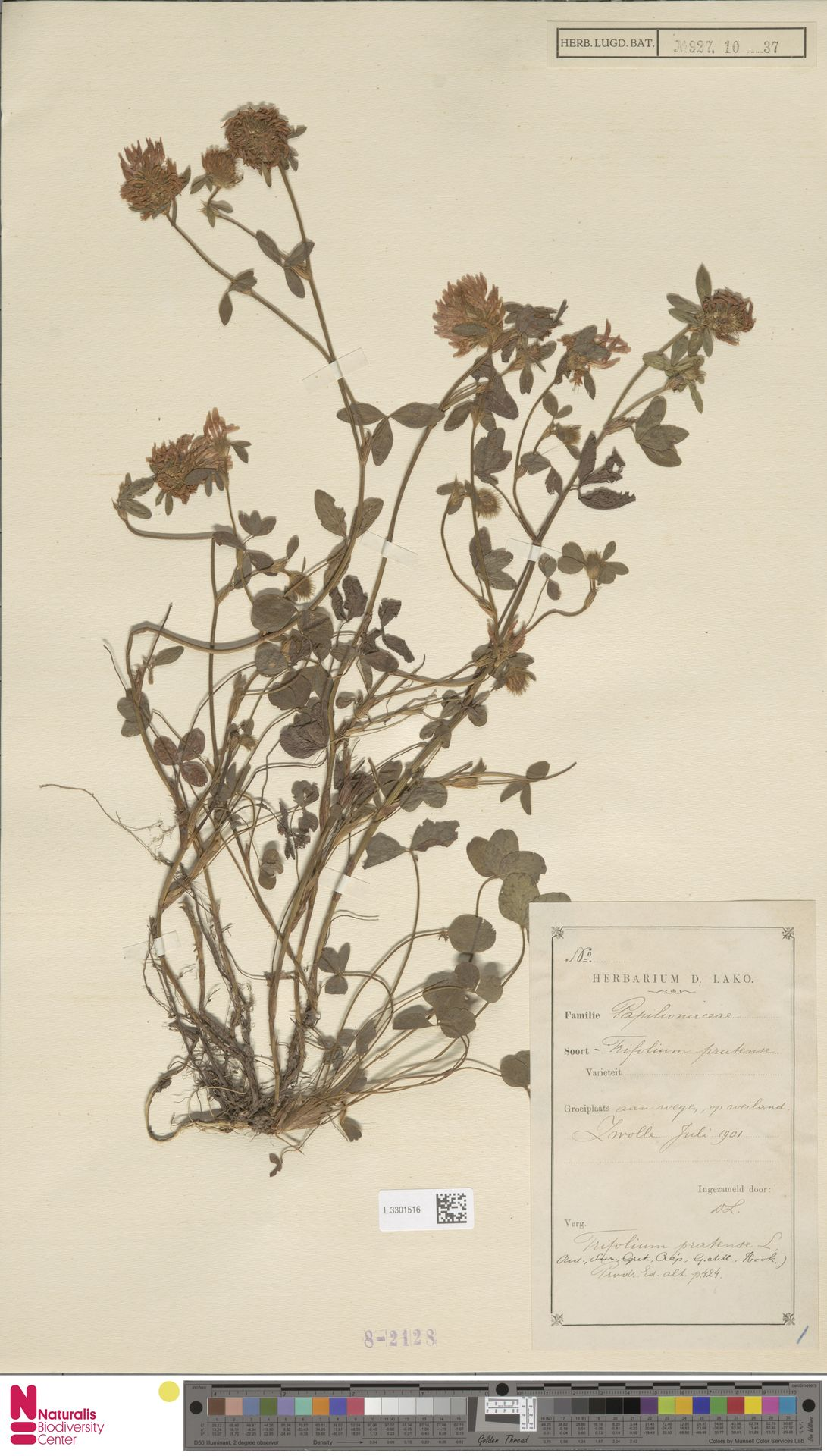 L.3301516 | Trifolium pratense L.