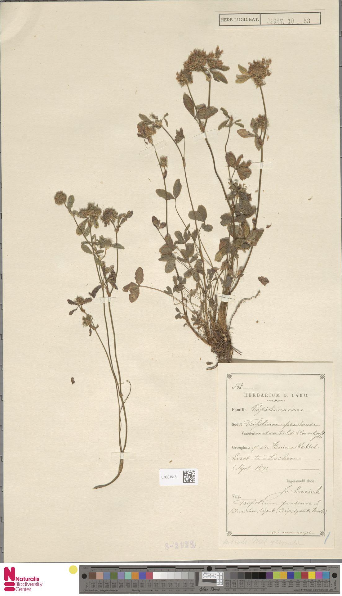 L.3301518 | Trifolium pratense L.