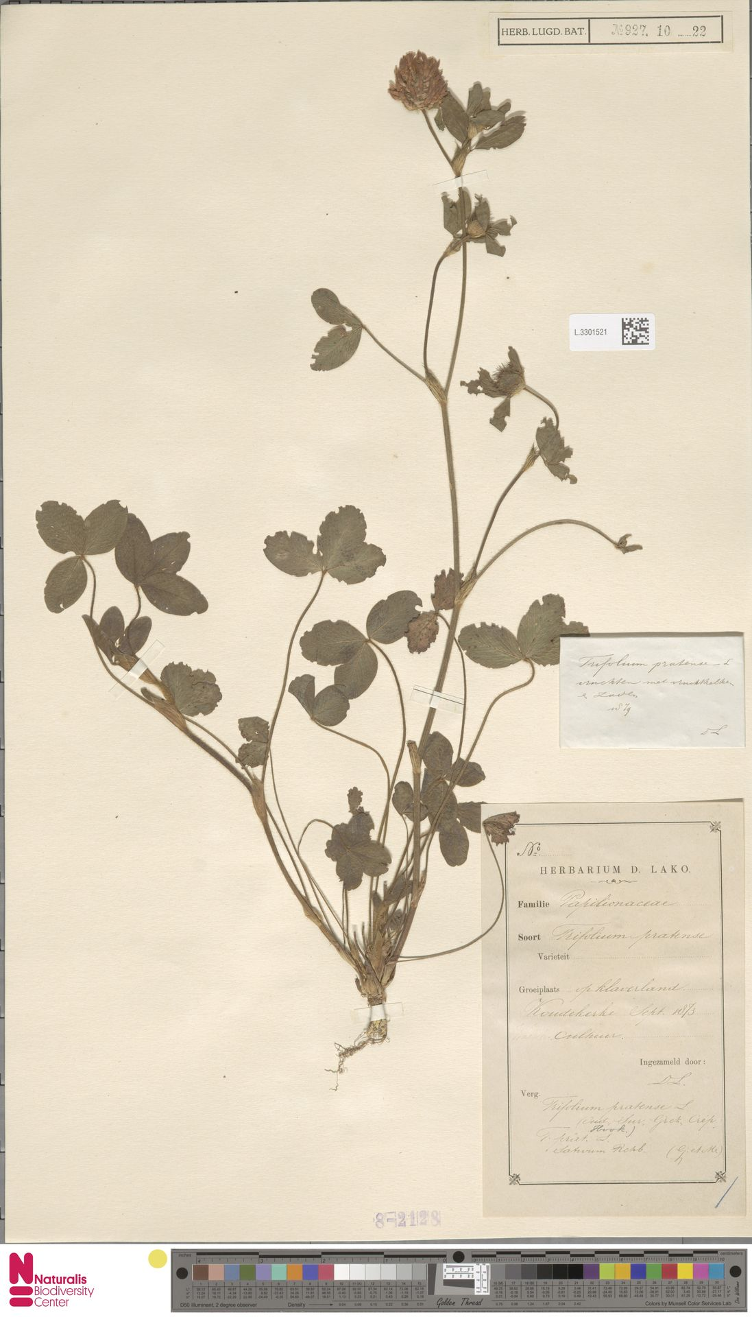 L.3301521 | Trifolium pratense L.