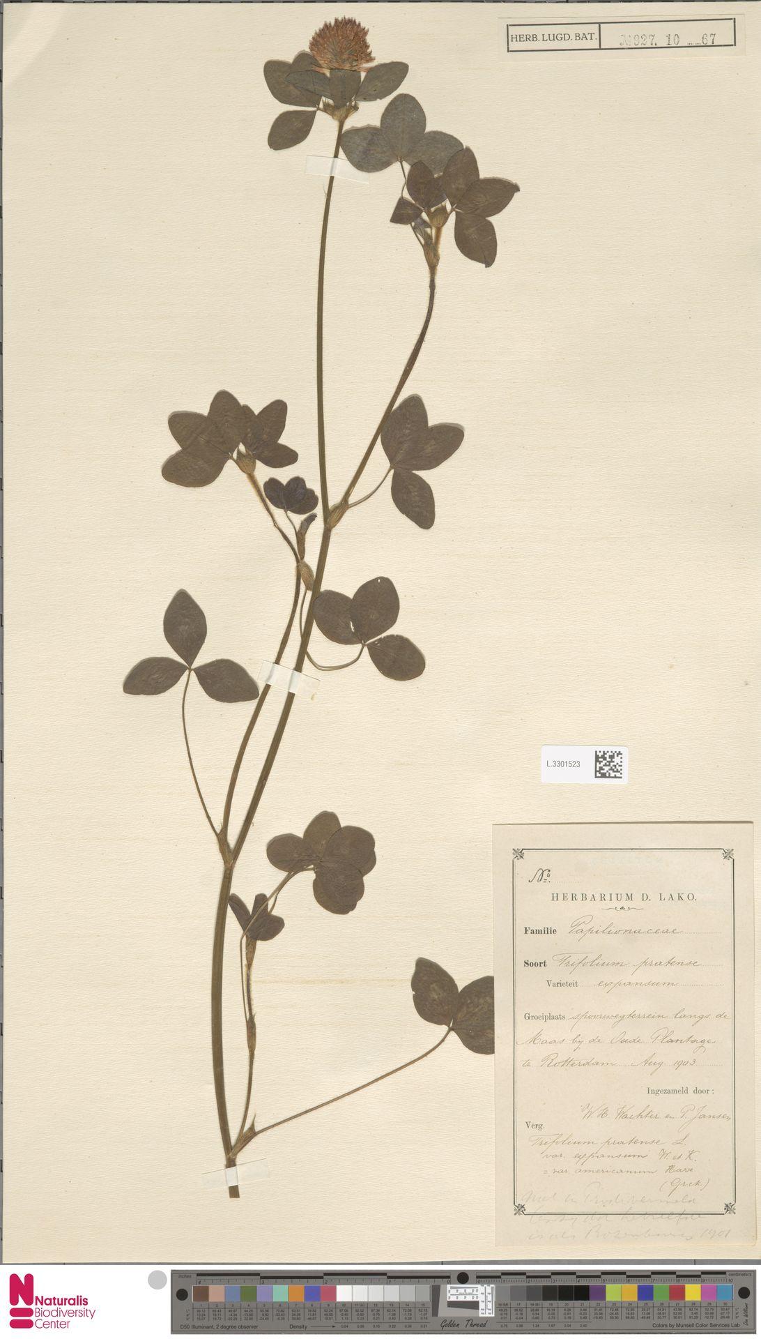 L.3301523   Trifolium pratense L.