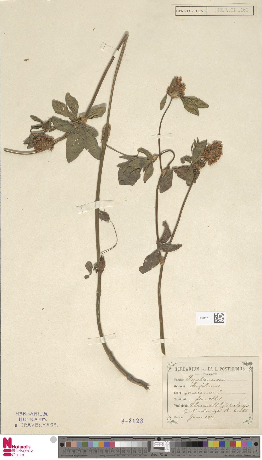 L.3301526 | Trifolium pratense L.
