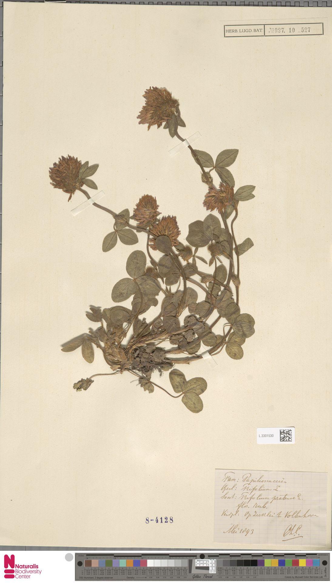 L.3301530 | Trifolium pratense L.