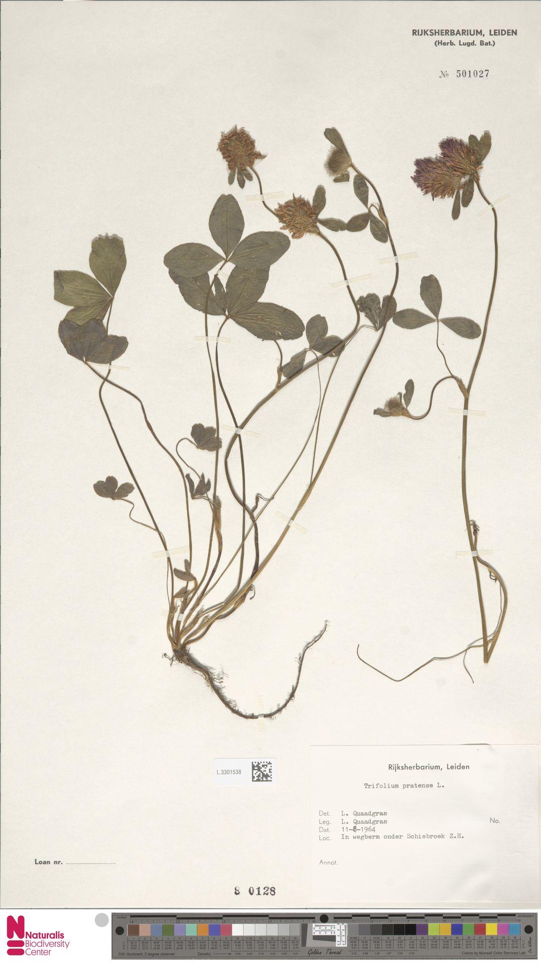 L.3301538 | Trifolium pratense L.