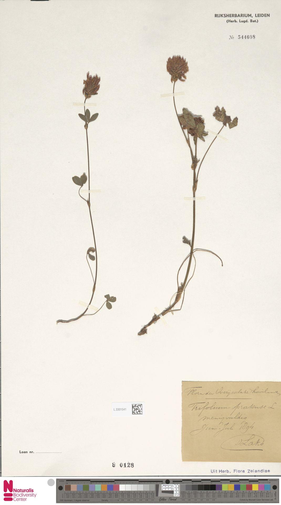 L.3301541 | Trifolium pratense L.