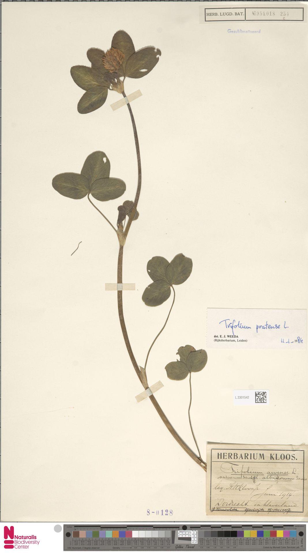 L.3301542 | Trifolium pratense L.
