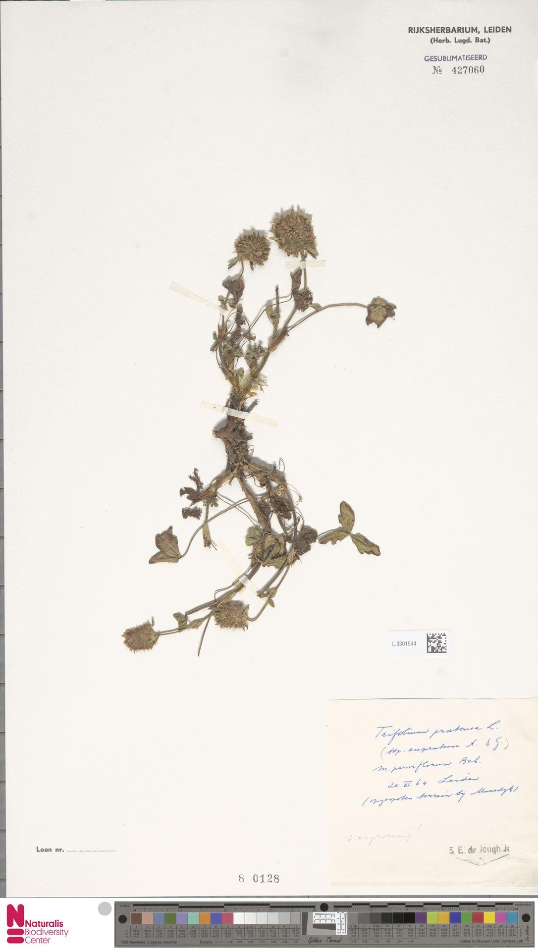 L.3301544   Trifolium pratense L.