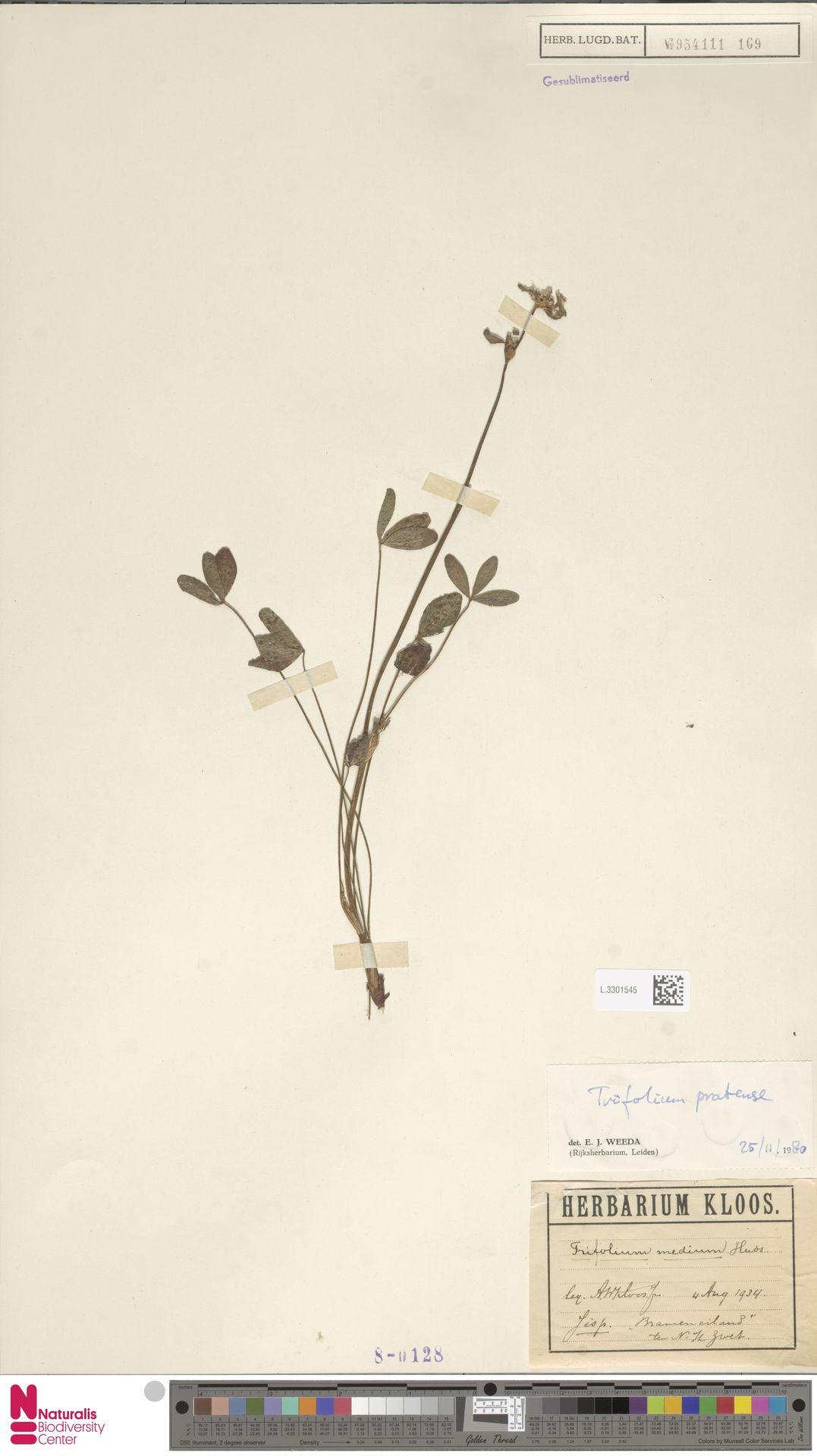 L.3301545 | Trifolium pratense L.