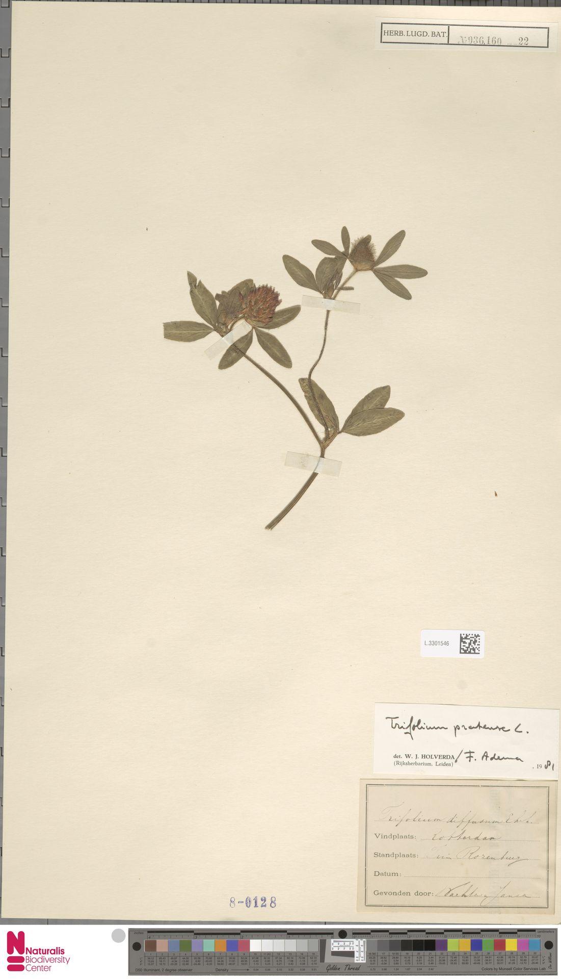 L.3301546 | Trifolium pratense L.